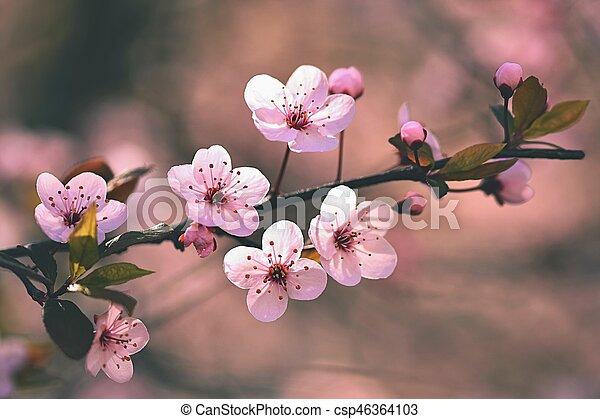 Spring background. Beautiful flowering tree Japanese cherry - Sakura. Flowers on a sunny day. - csp46364103