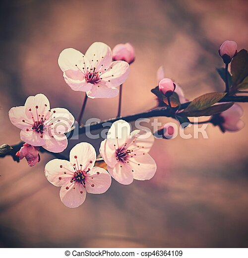 Spring background. Beautiful flowering tree Japanese cherry - Sakura. Flowers on a sunny day. - csp46364109