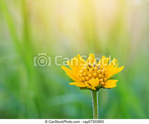 Spring background with beautiful yellow flowers - csp57303950