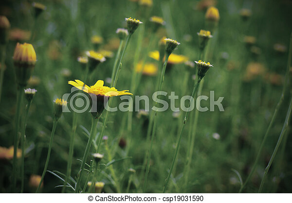 Spring background with beautiful yellow flowers - csp19031590