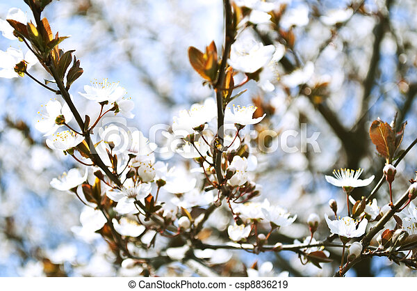 Spring background with plum flowers - csp8836219