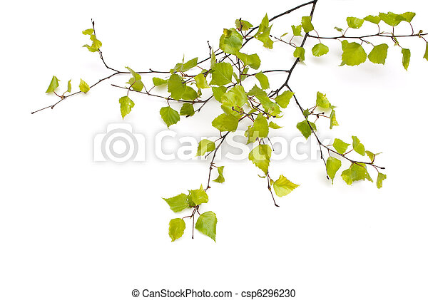 Spring Birch isolated on white - csp6296230