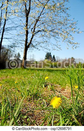 Spring blooming dandelion - csp12698791