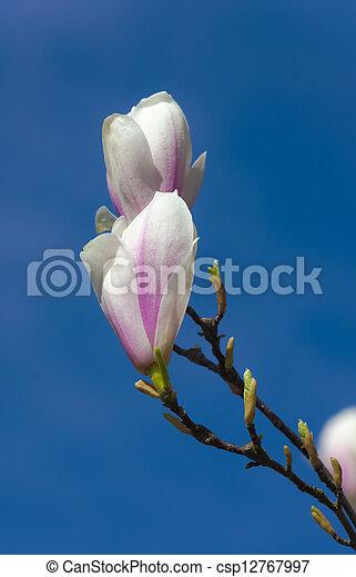 Spring blooming magnolia - csp12767997