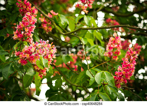 Spring blooming pink chestnut tree flowers nature background mightylinksfo