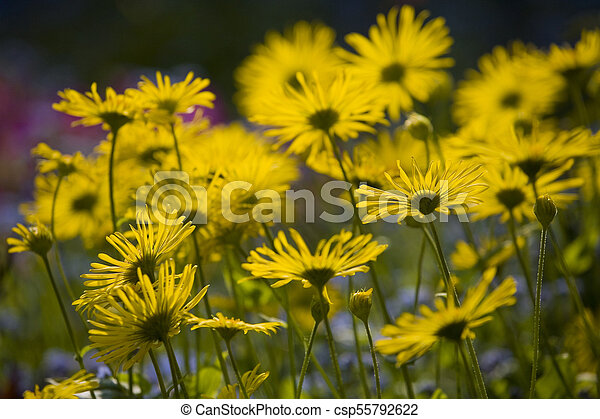 spring blooming yellow flowers in the garden in the rays of the evening warm sun, - csp55792622