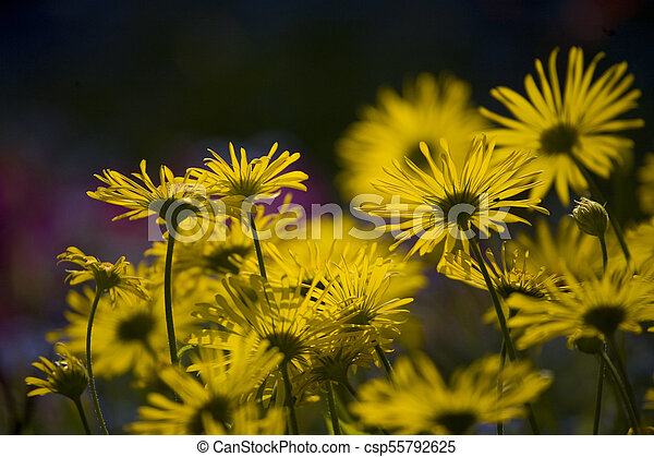 spring blooming yellow flowers in the garden in the rays of the evening warm sun, - csp55792625