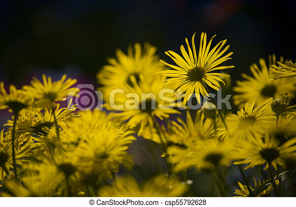 spring blooming yellow flowers in the garden in the rays of the evening warm sun, - csp55792628
