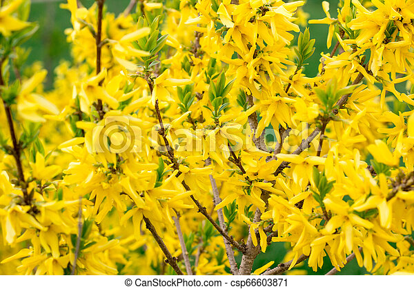 Spring Blossom Background Of Yellow Flowering Bushes Spring