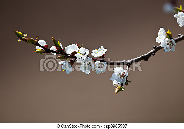 Spring - blossoming apple tree - csp8985537