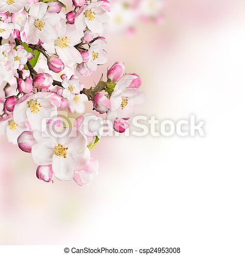 Spring blossoms on white background - csp24953008