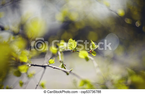 spring., branches, fond, bouleau - csp53736788
