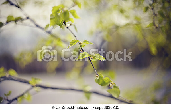 spring., branches, fond, bouleau - csp53838285