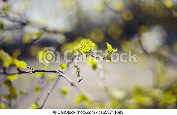 spring., branches, fond, bouleau - csp53711093