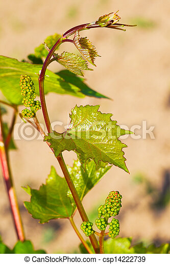 Spring buds sprouting on a grape vine in the vineyard - csp14222739