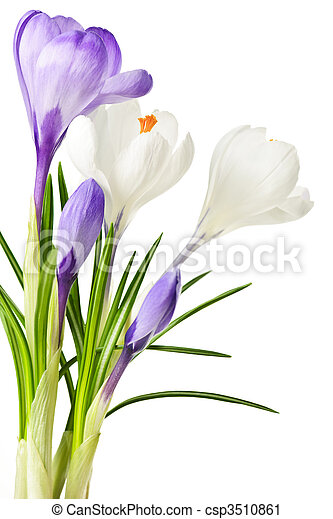 Spring crocus flowers white and purple spring crocus flowers spring crocus flowers csp3510861 mightylinksfo