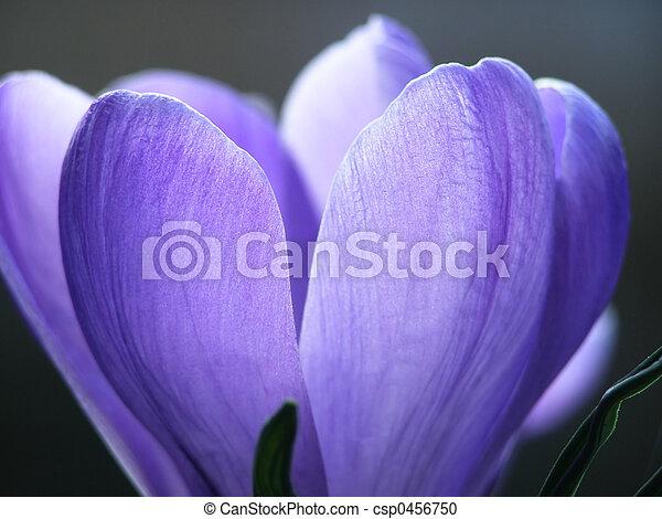 spring crocus - csp0456750