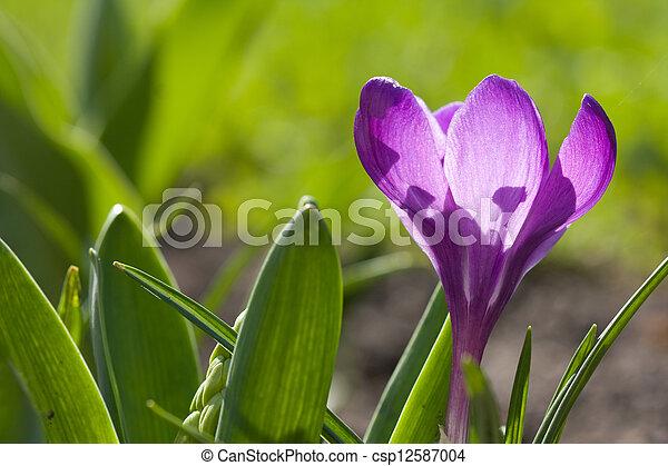 spring crocus - csp12587004