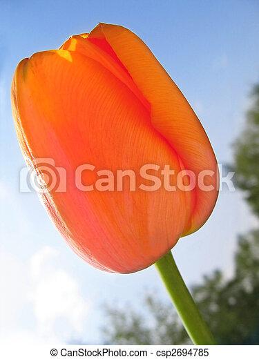 Spring flower - orange tulip - csp2694785