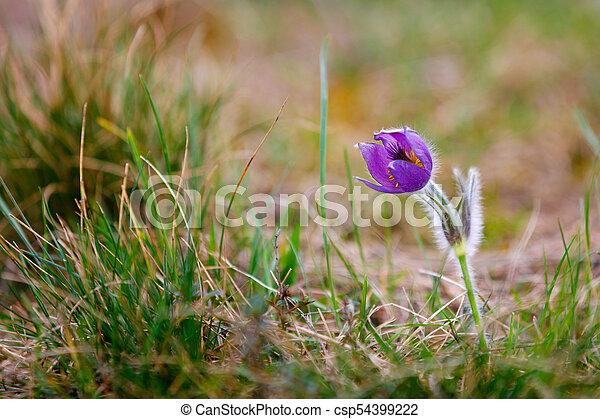 Spring flower pulsatilla pratensis small pasque flower early spring flower pulsatilla pratensis small pasque flower csp54399222 mightylinksfo