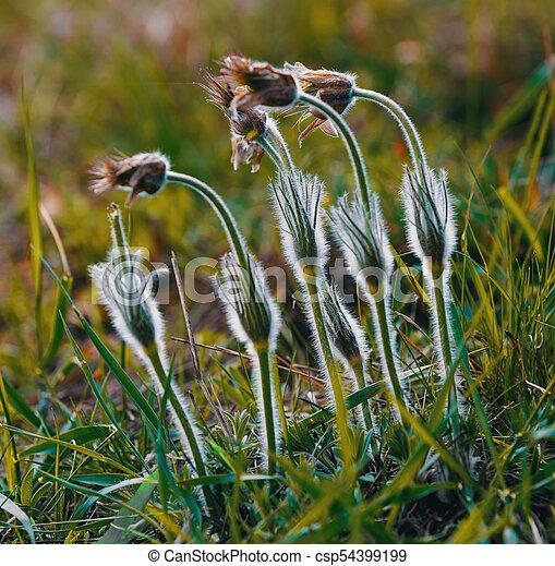 Spring flower pulsatilla pratensis small pasque flower early spring flower pulsatilla pratensis small pasque flower csp54399199 mightylinksfo