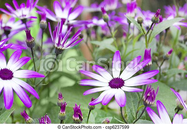 Spring Flowering Senetti Flowers Senetti Flowers In A Border In A