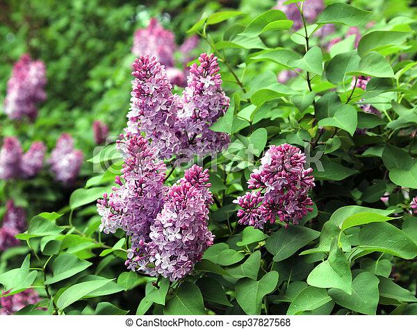 Spring flowering shrubs white and purple syringa gatchina russia spring flowering shrubs white and purple syringa csp37827568 mightylinksfo