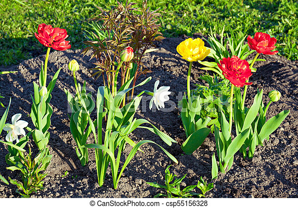 Spring Flowers Daffodils And Tulips Flowering In Garden On A