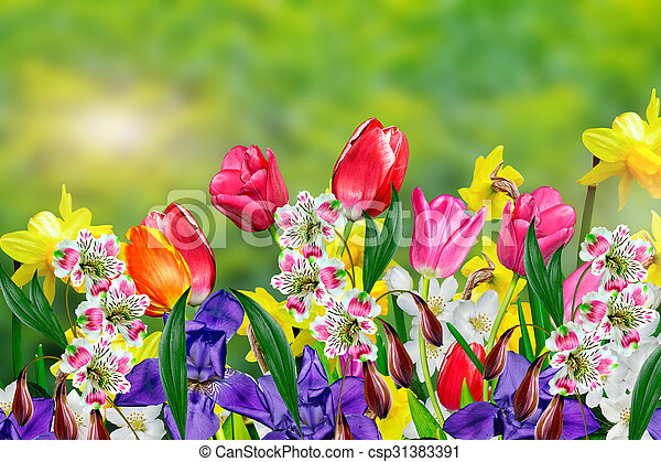Spring flowers daffodils and tulips spring flowers daffodils and tulips csp31383391 mightylinksfo