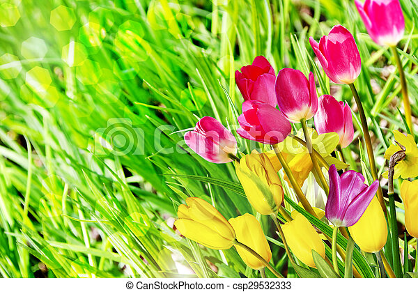 Spring flowers daffodils and tulips spring flowers daffodils and tulips csp29532333 mightylinksfo