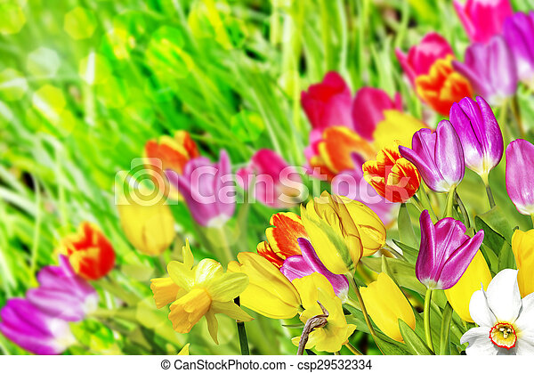 Spring flowers daffodils and tulips spring flowers daffodils and tulips csp29532334 mightylinksfo