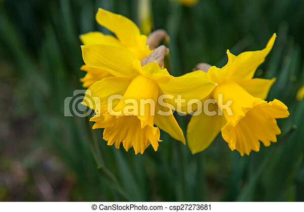 Spring flowers daffodils beautiful fresh spring flowers pictures spring flowers daffodils csp27273681 mightylinksfo