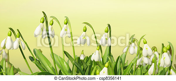 Spring Flowers Header Spring Background With Snowdrop Flowers