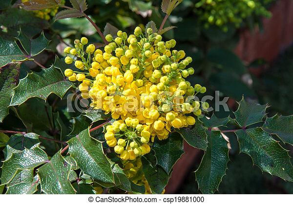 Spring flowers mahonia mahonia aquifolium evergreen shrubs the spring flowers mahonia csp19881000 mightylinksfo