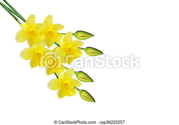 spring flowers narcissus isolated on white background - csp36223257