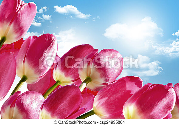 Spring flowers tulips on the background of blue sky with clouds - csp24935864