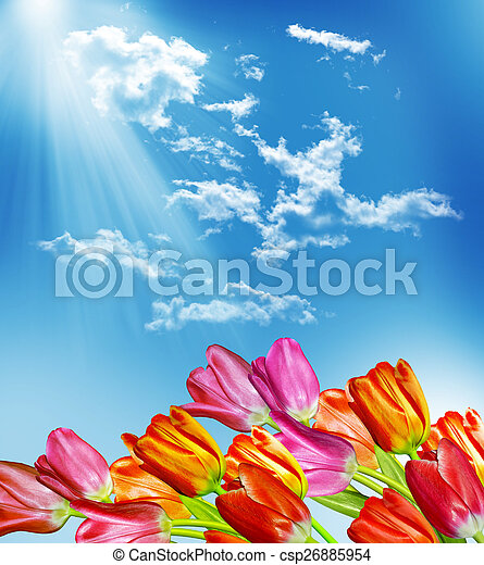 Spring flowers tulips on the background of blue sky with clouds - csp26885954