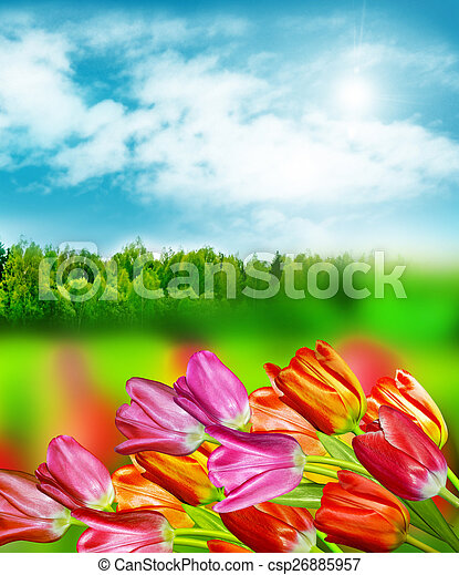 Spring flowers tulips on the background of blue sky with clouds - csp26885957