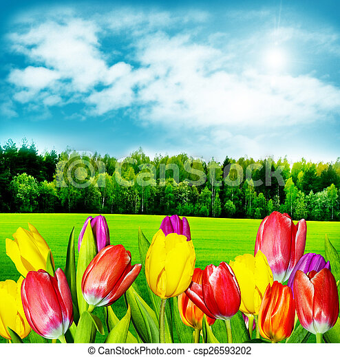 Spring flowers tulips on the background of blue sky with clouds - csp26593202