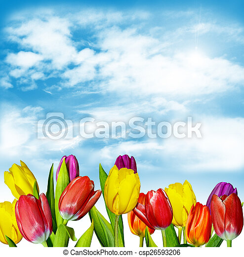 Spring flowers tulips on the background of blue sky with clouds - csp26593206
