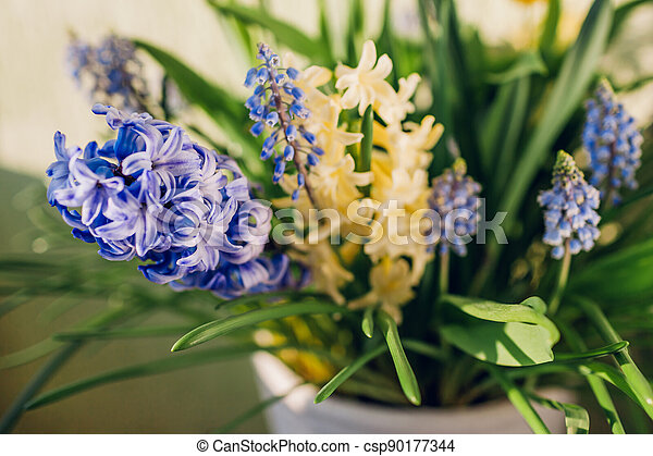 Spring fragrant flowers. Yellow hyacinths, blue muscari grow in pot at home. Close up of plants. - csp90177344