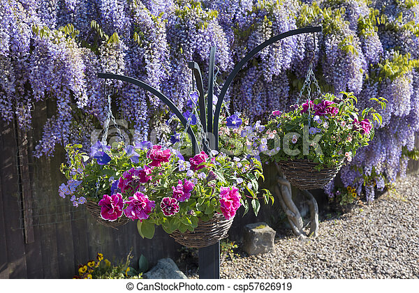 Spring hanging baskets with a backdrop of wisteria in full bloom spring hanging baskets with a backdrop of wisteria in full bloom csp57626919 mightylinksfo
