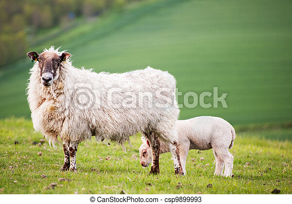 Spring lamd and ewe mother in Spring rural farm landscape - csp9899993