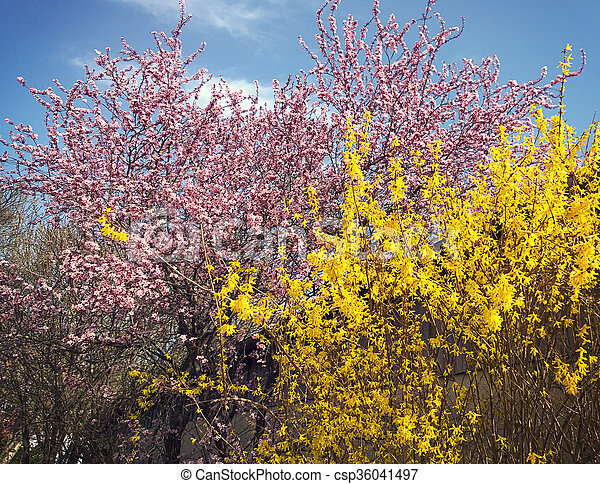 Spring Landscape Pink Cherry Tree And Yellow Forsythia Spring