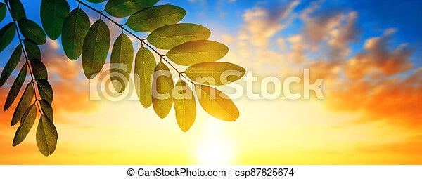 Spring leaf of Acacia tree at sunset. - csp87625674