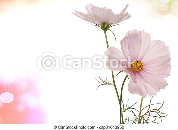 Spring Light Pink Flowers On A White Background Isolated   Csp31613952