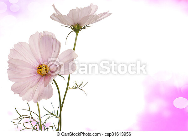 Spring Light Pink Flowers On A White Background Isolated   Csp31613956
