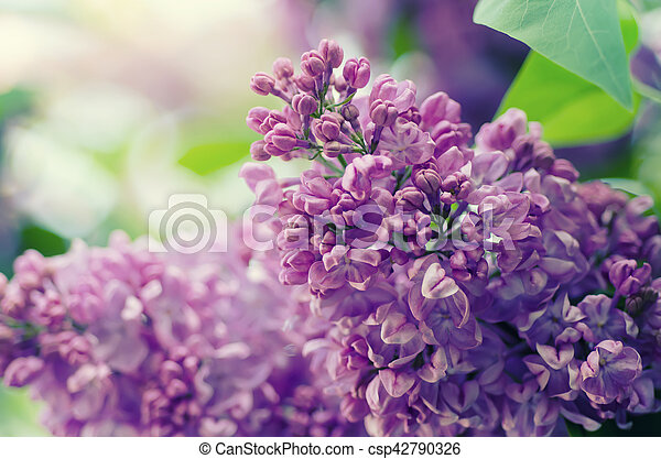 Spring lilac flowers - csp42790326