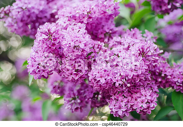 Spring lilac flowers - csp46440729