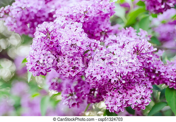Spring lilac flowers - csp51324703
